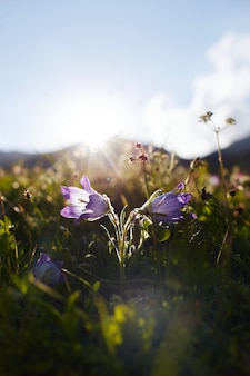 Seltene gebirgsblumen und -pflanzen, die am abhang des kaukasus wachsen