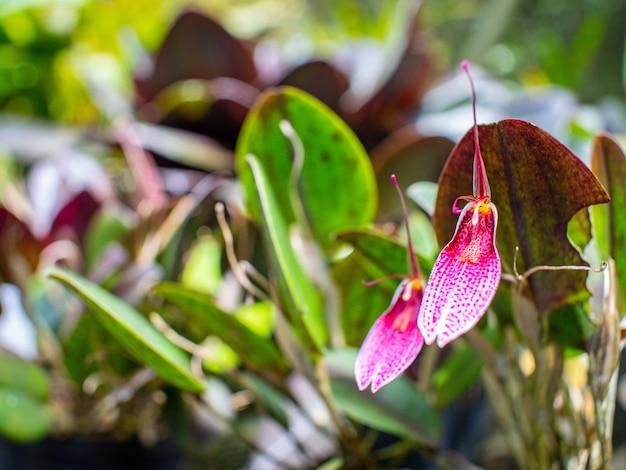 Seltene kolumbianische orchidee in einem grünen garten