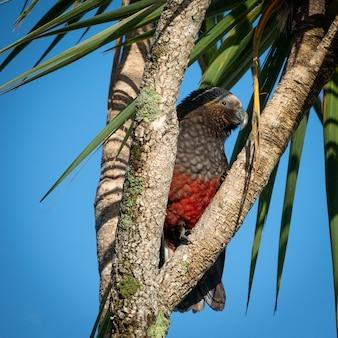 Seltener einheimischer papagei sitzt zwischen ästen ulva island stewart island rakiura neuseeland