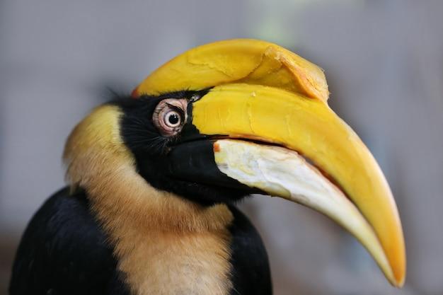 Seltener nashornvogel, thailand