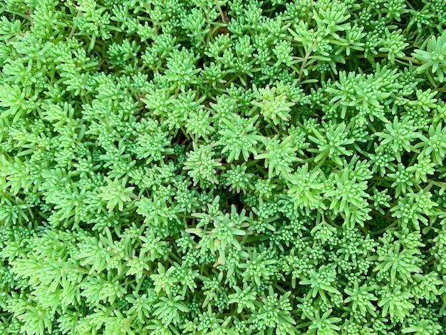 Sempervivum grean hinterlässt makrohintergrund. abstraktes sukkulentenfoto