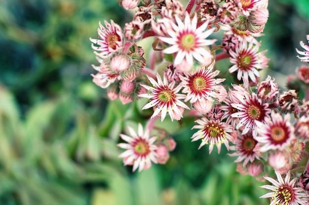 Sempervivum tectorum rosa blüten gegen grüne blätter