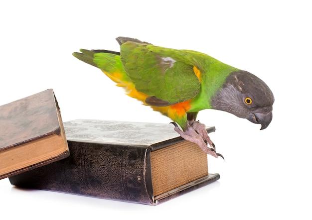 Senegal papagei im studio