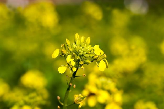 Senfblumen in der frühlingssaison werden senfblumen angebaut, um das erntegebiet zu dekorieren und zu verschönern