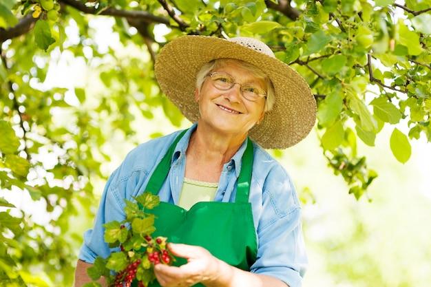 Senior, der einen busch der roten johannisbeere prüft