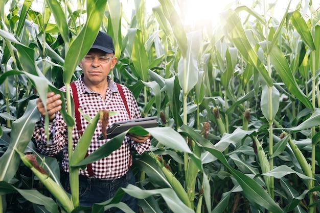 Senior farmer geschäftsinhaber schaut in tablet im feldmaisbauer agronom im feldmais bei sonnenuntergang