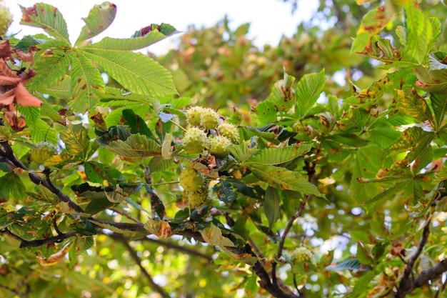 September dornige kastanien hängen an einem baum