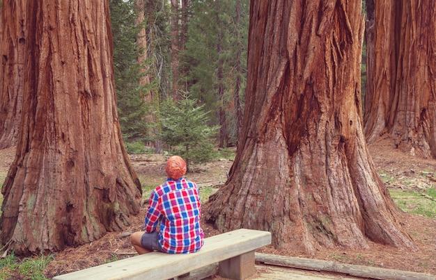 Sequoias wald in der sommersaison