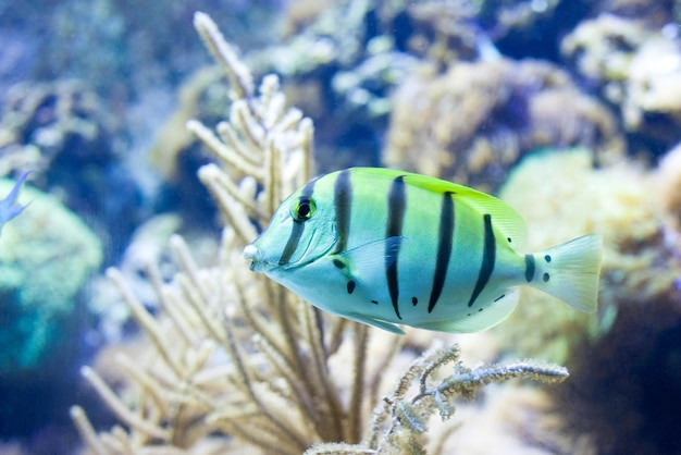 Sergeant major fisch auf einem korallenriff