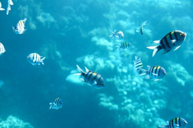 Sergeant-major-fischschwarm mit wasseroberfläche im hintergrund, unterwasser-karibisches meer