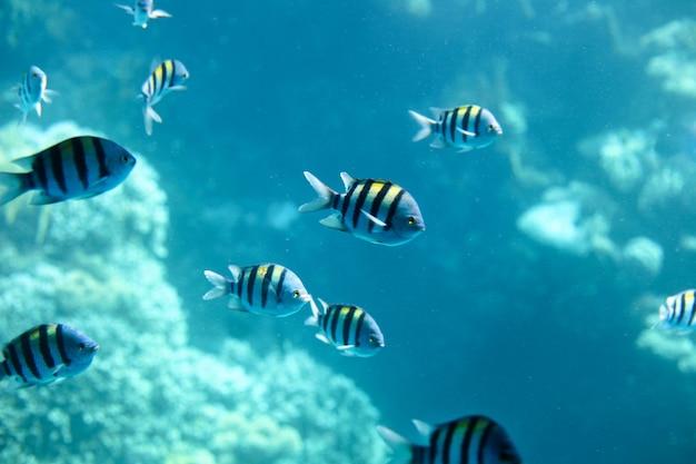 Sergeantmajor fisch auf der wasseroberfläche im hintergrund unterwasser karibik ägypten fischbuntbarsche Premium Fotos