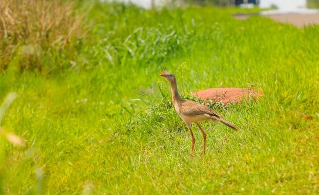 Seriema, ein typischer brasilianischer vogel. vogel mit langen ohren und langen beinen. foto mit grünem gemüse