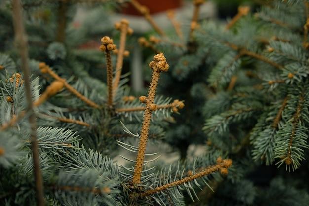 Setzlinge von kiefern, fichten, tannen, mammutbäumen und anderen nadelbäumen in töpfen in baumschulen.