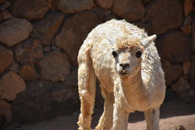 Shaggy white alpaka mit einer steinmauer hinter ihm