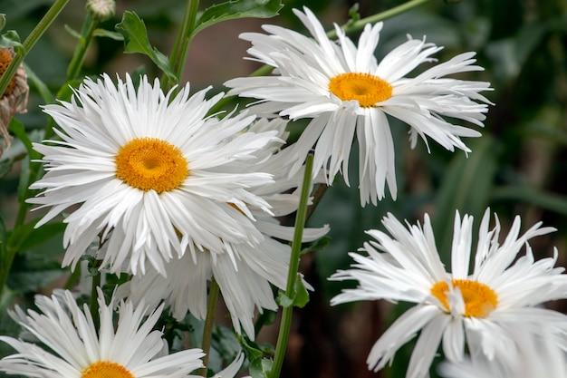 Shasta weißes gänseblümchen