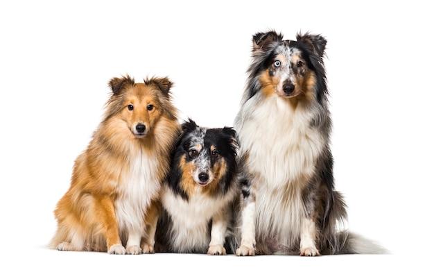 Sheltie dogs sitzen zusammen in einer reihe