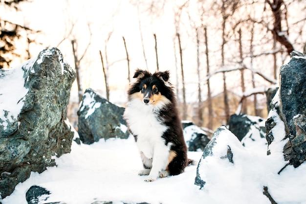 Sheltie hündchen geht im winter draußen, weißer schnee und felsen, sonnenlicht, kommunikation mit einem haustier