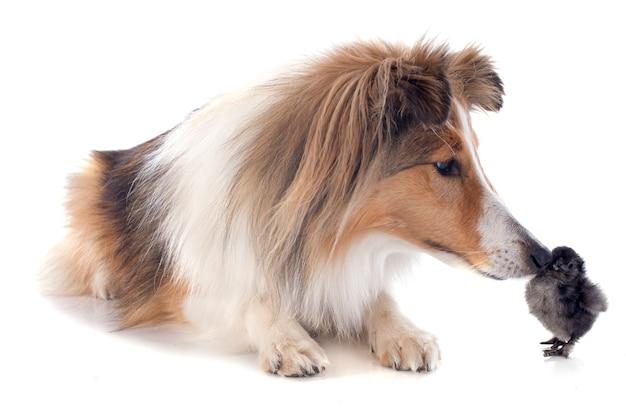 Shetland hund und küken