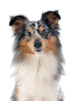 Shetland hund