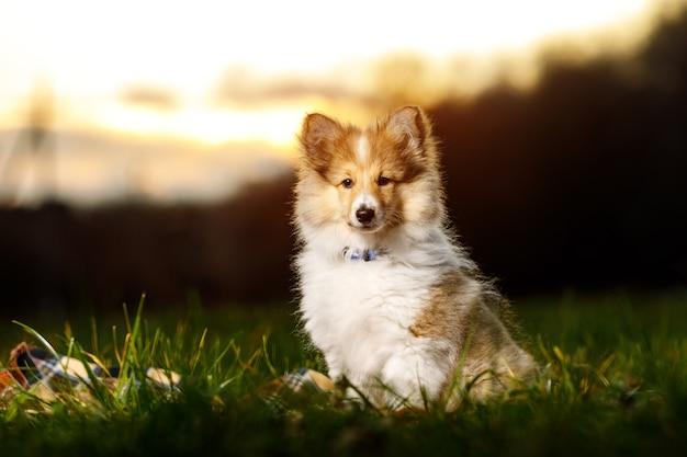 Shetland sheepdog welpe. sheltie bei sonnenuntergang.