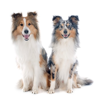 Shetlandhunde