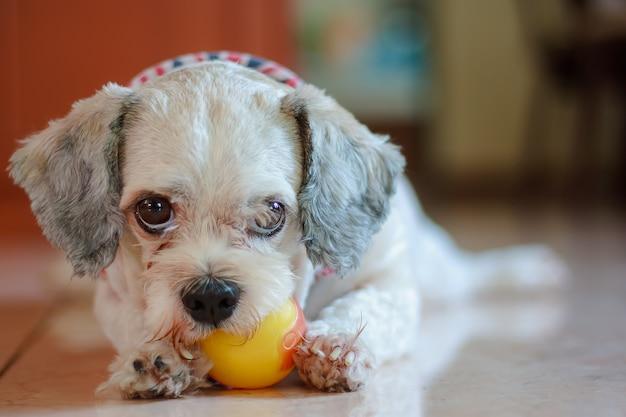 Shih-tzu hund, der einen ball für haustierkonzept spielt