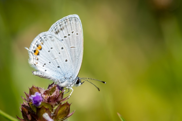 Shorttailed blue oder tailed cupid auf einer blume in einer wiese