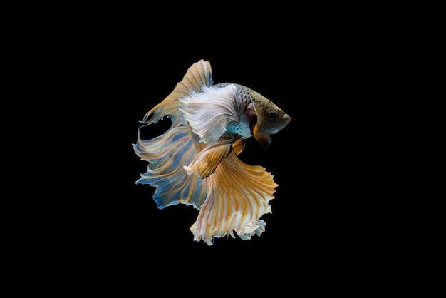 Siam betta fisch