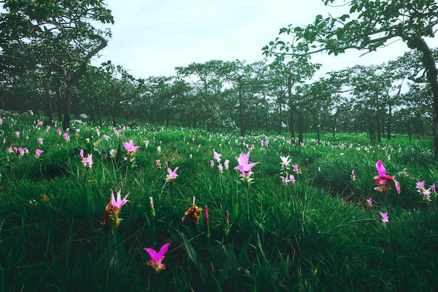 Siam tulip in thailand