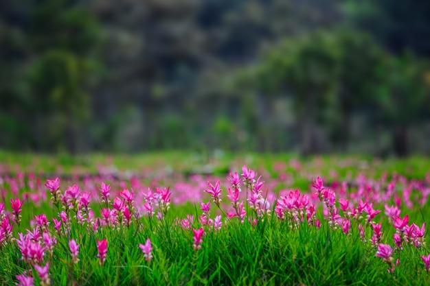 Siam-tulpenfelder sai thong national park.