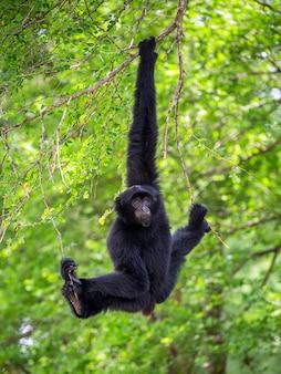 Siamang (giant muntjac oder black gibbons) hängen an bäumen in einer natürlichen umgebung.