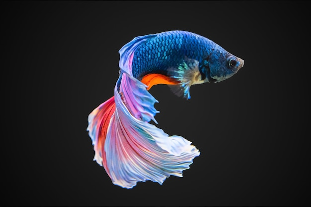 Siamesische kämpfung der fische