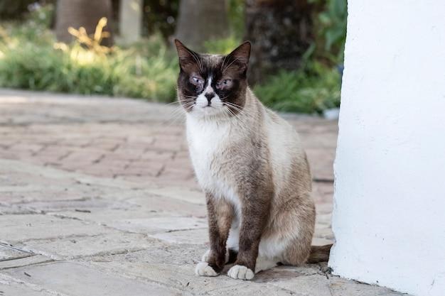 Siamesische katze in einer ecke der wand, die neugierig schaut