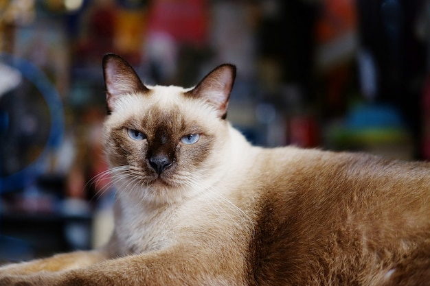 Siamesische katze sitzt und entspannt auf holzboden im haus