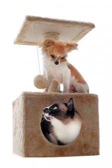 Siamesische katze und chihuahua