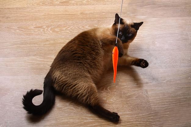 Siamesische oder thailändische katze spielt mit einem spielzeug. eine behinderte katze beißt und kratzt ein spielzeug. drei pfoten, keine gliedmaßen.