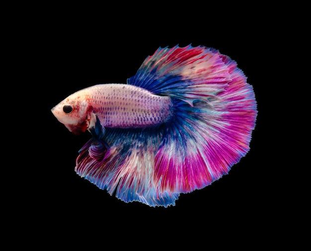 Siamesischer kampffisch in einem dunklen aquarium