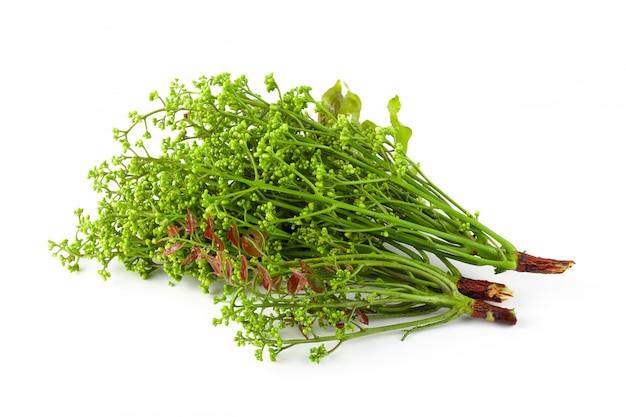 Siamesischer neem-baum, nim, margosa lokalisiert auf weißem hintergrund.