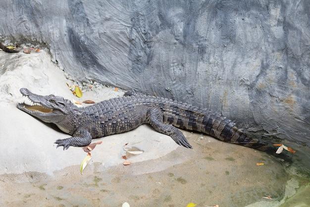 Siamesisches frischwasserkrokodil schläft nahe dem teich im zoo von thailand