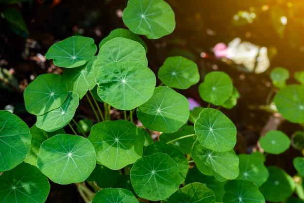 Siatic pennywort, ist eine pflanze, die bei der behandlung von krankheiten angezeigt ist.