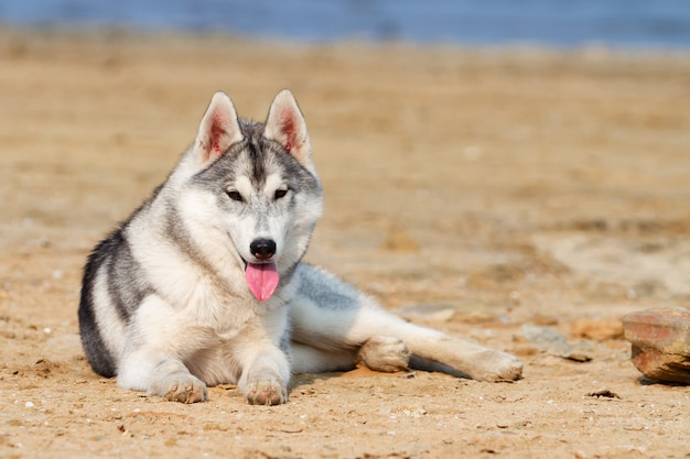 Siberian huskies am strand