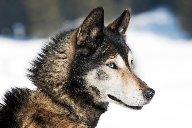 Siberian husky auf dem schnee