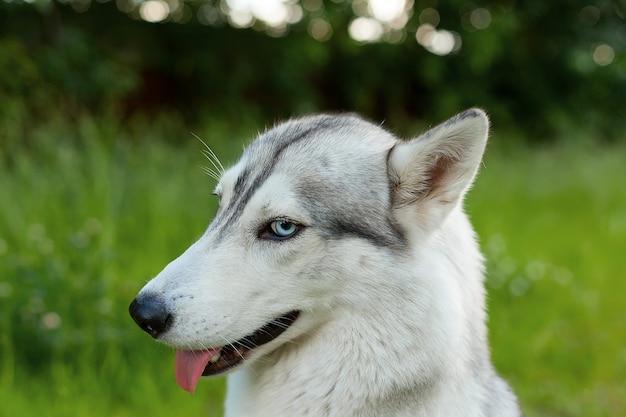 Siberian husky hund im park