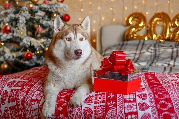 Siberian husky hund im schlafzimmer nahe dem weihnachtsbaum neujahr