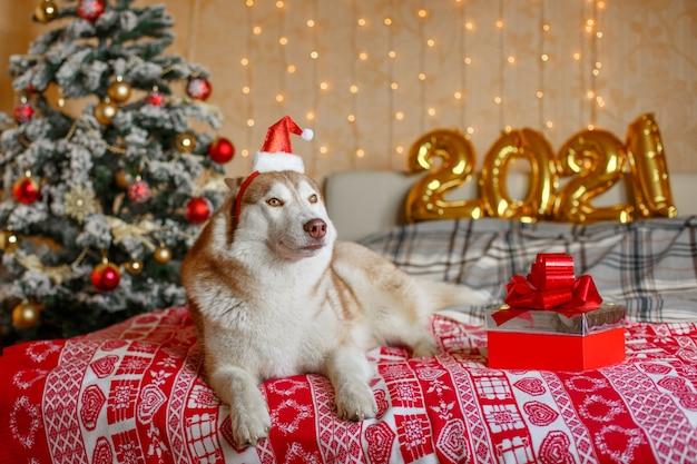 Siberian husky hund liegt auf dem bett in der nähe des weihnachtsbaumes in einer weihnachtsmannmütze figuren neujahr