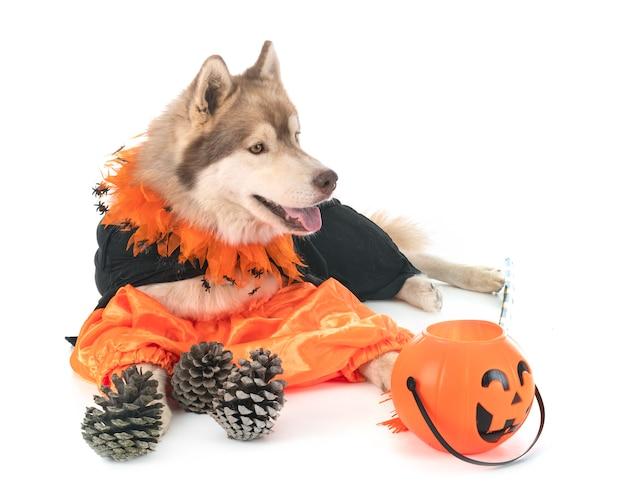 Siberian husky hund