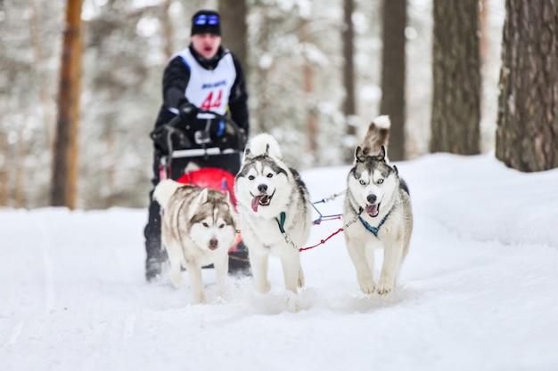 Siberian husky schlittenhunderennen. mushing winterwettbewerb. husky-schlittenhunde im geschirr ziehen einen schlitten mit hundefahrer.