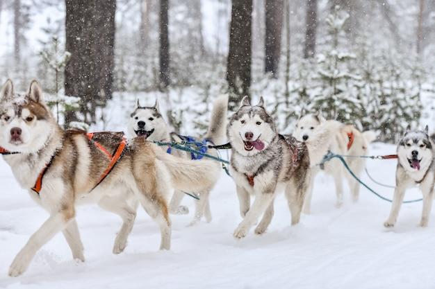 Siberian husky schlittenhundeteam im geschirr laufen und hundefahrer ziehen. wintersport-meisterschaftswettbewerb.