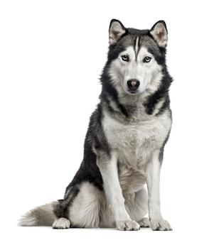 Siberian husky sitzend, lokalisiert auf weiß