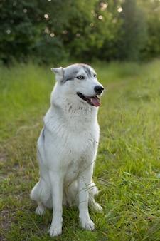 Siberian husky sitzt auf dem grünen gras